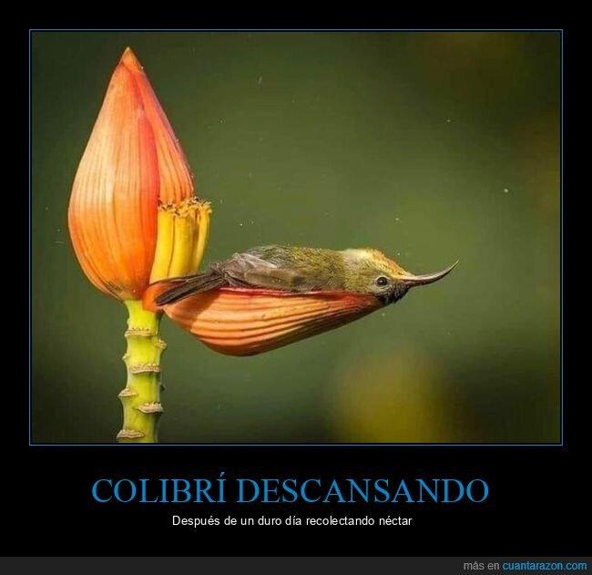 colibrí,descansando,flor
