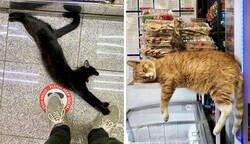Enlace a Fotos de gatos en tiendecitas actuando como si fueran los dueños