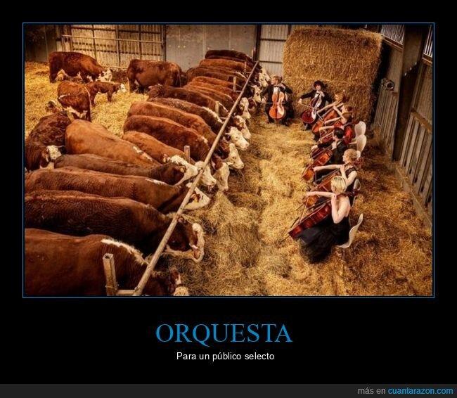 orquesta,vacas,wtf