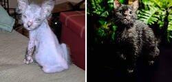Enlace a Los dueños de esta gatita pensaban que estaba enferma, pero descubrieron que Gracie en realidad era una gata-lobo