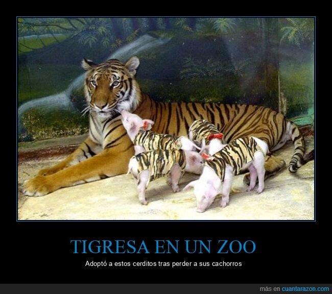 adoptar,cerdos,tigre