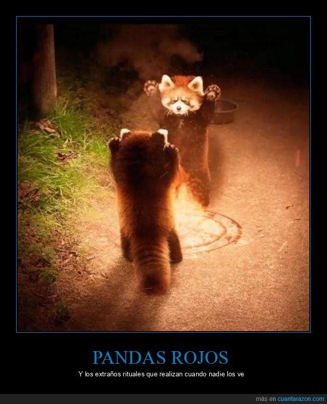 pandas rojos,ritual,wtf