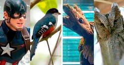 Enlace a Aves que tienen un sorprendente parecido a los superhéroes de Marvel