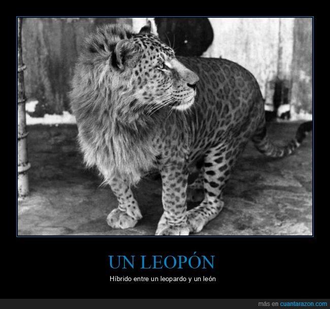 híbrido,león,leopardo,leopón
