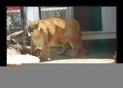 Enlace a Puma obeso