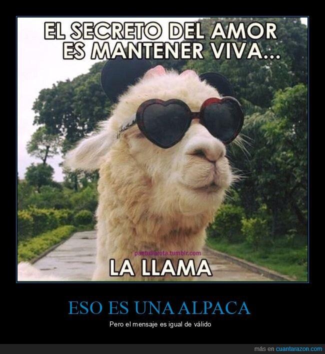 alpaca,amor,llama