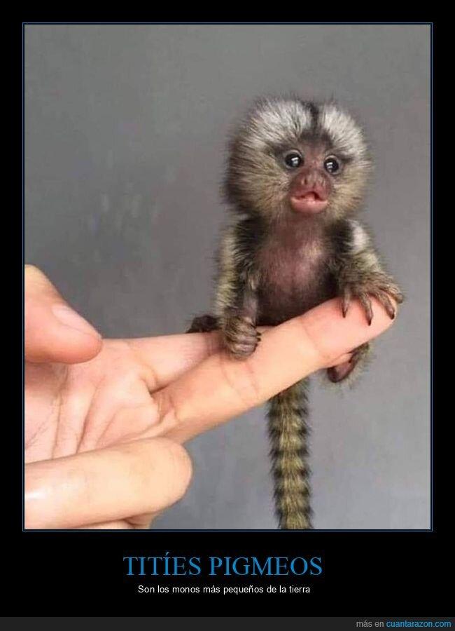 curiosidades,monos,pequeños,titíes pigmeos