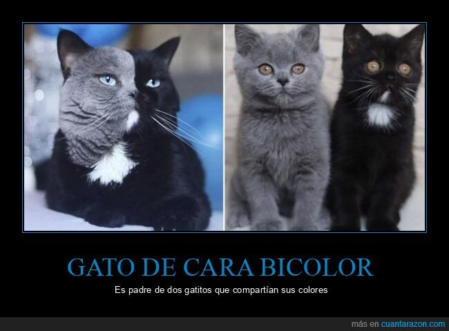 bicolor,colores,gato,hijos