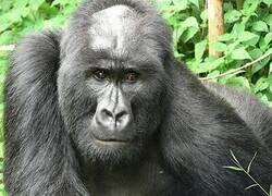 Enlace a Gorila alopécico