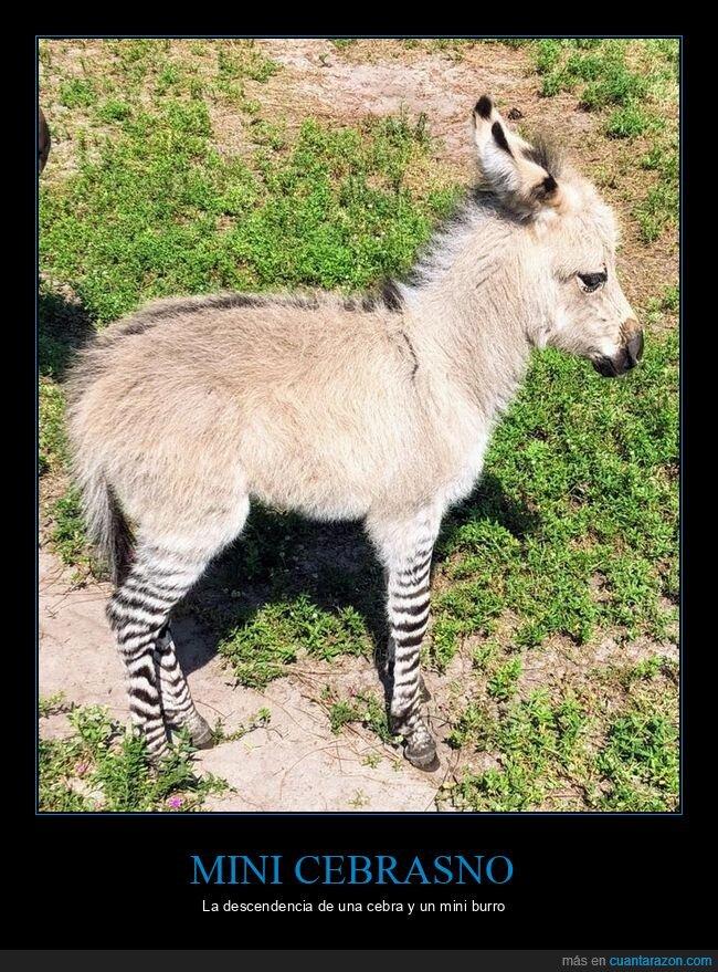 burro,cebra,mini cebrasno