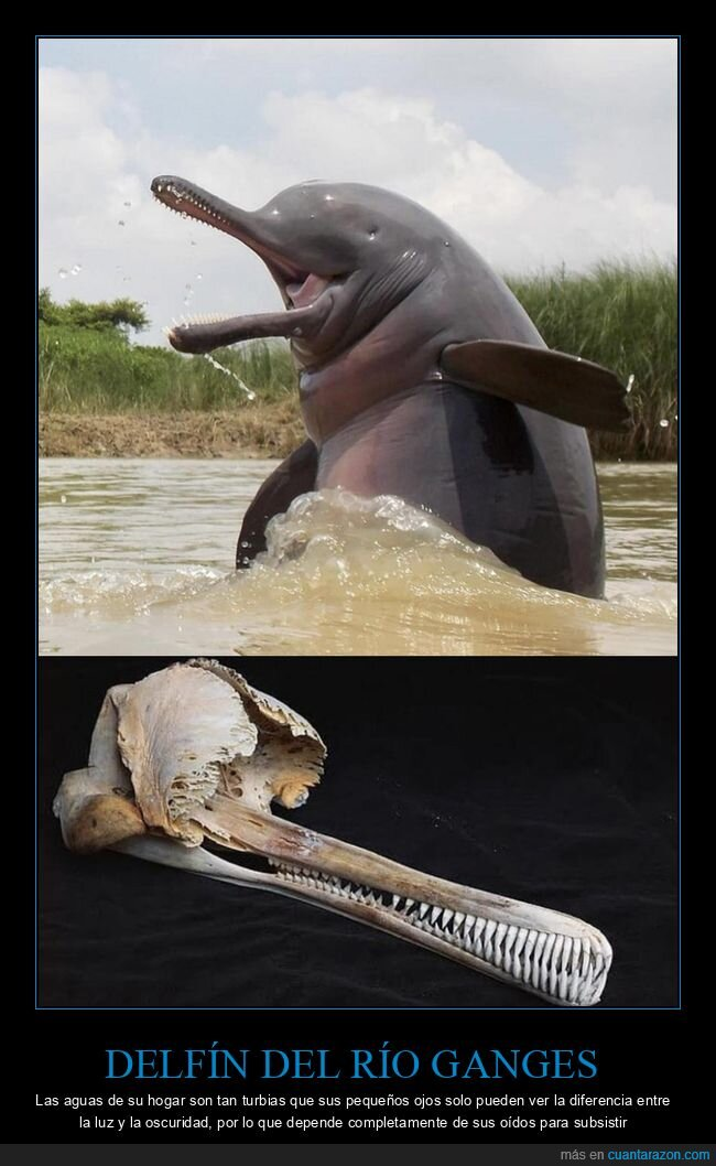 delfín,ojos,río ganges