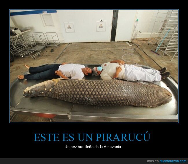 amazonas,grande,pez,pirarucu