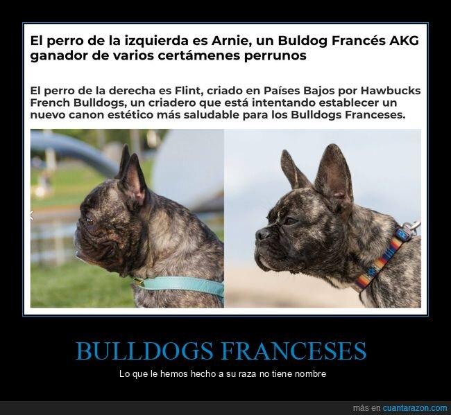 bulldog francés,comparativa