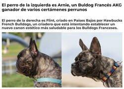 Enlace a Dos bulldogs franceses muy distintos