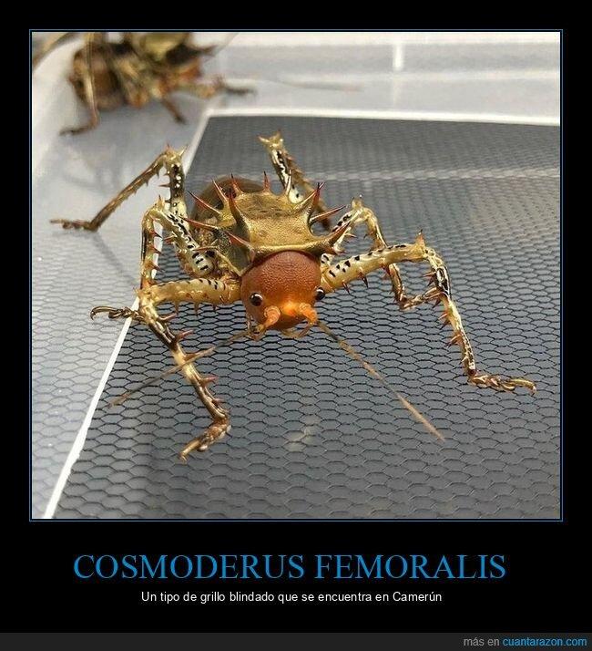 blindado,camerún,cosmoderus femoralis,grillo