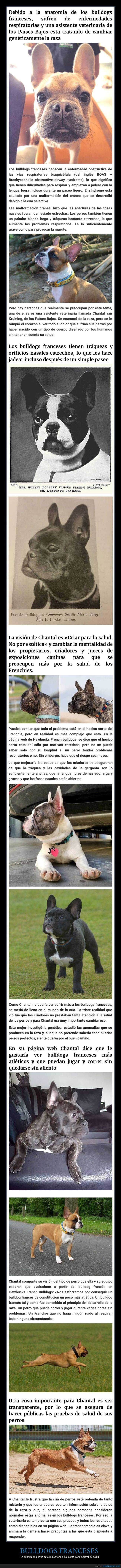 bulldog francés,cara,crianza selectiva,salud