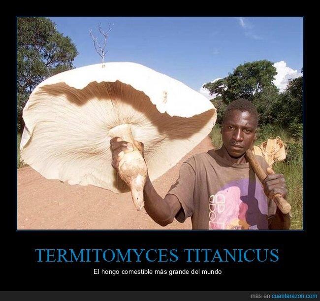 gigante,hongo,Termitomyces titanicus
