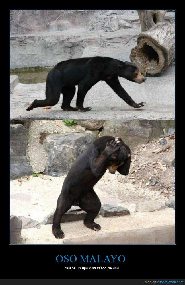 oso malayo,wtf