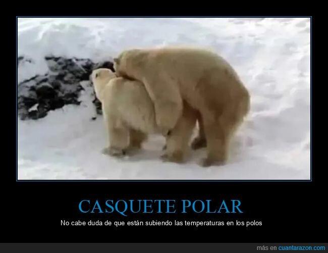 casquete polar,montando,osos polares
