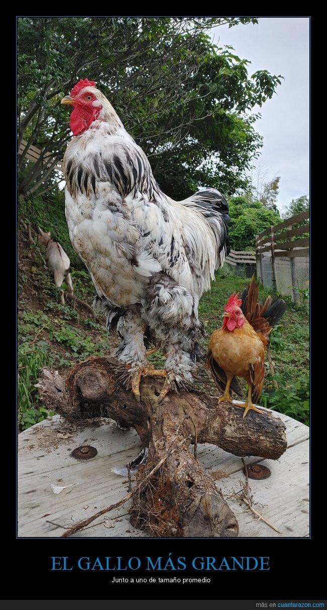 comparación,gallo,grande