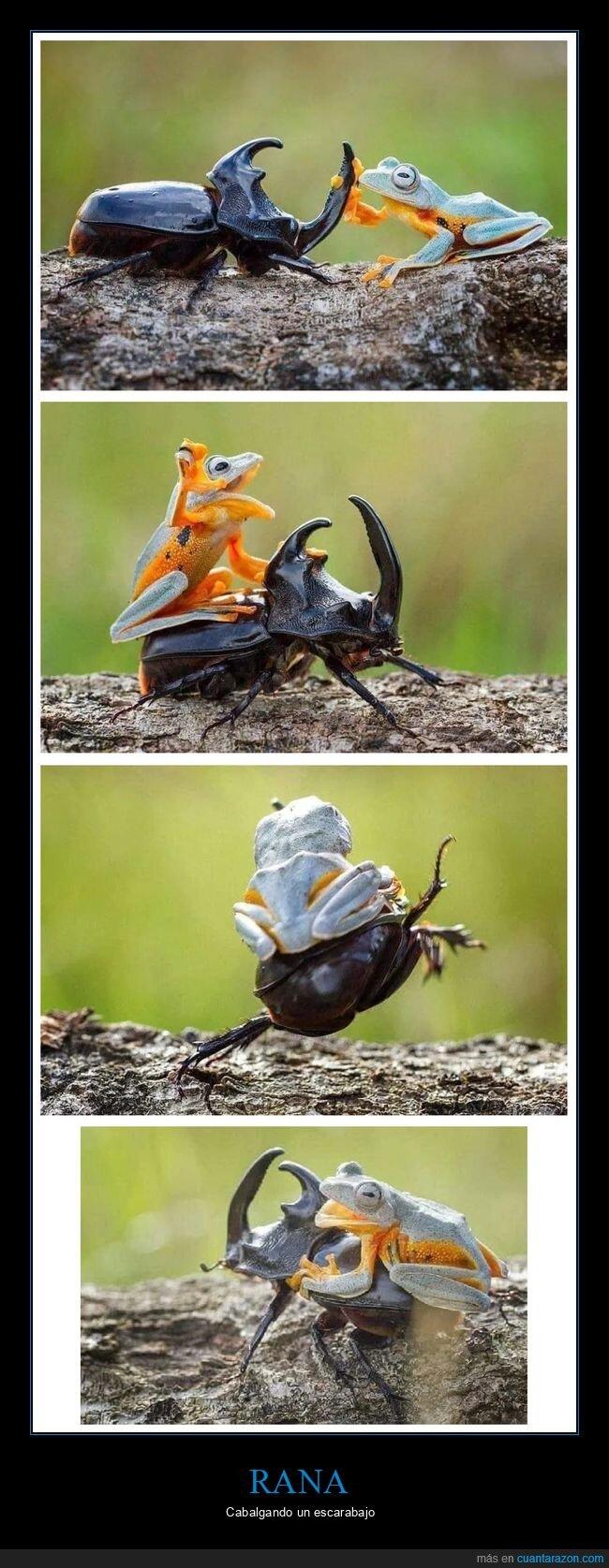 cabalgar,escarabajo,rana