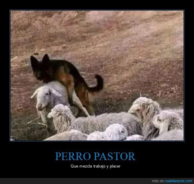 ovejas,perros,placer,trabajo
