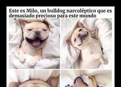Enlace a Simpáticos bulldogs que demuestran que los estereotipos sobre ellos son erróneos
