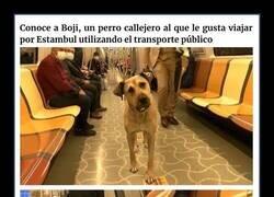 Enlace a Este perro viaja más de 30km al día usando el transporte público de Estambul