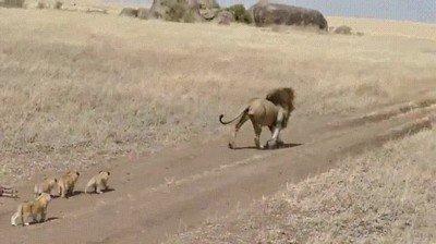 Este león se ha ganado a pulso la nominación a padre del año