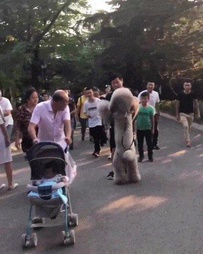 Un perro gigante que solo quiere que lo lleven en brazos a casa