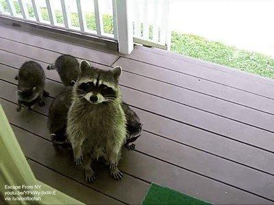 Enlace a Un mapache y su familia se acercan a casa para saludar