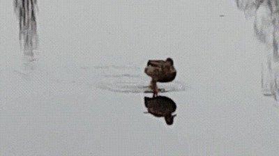 Enlace a El Jesús de los patos, caminando sobre las aguas