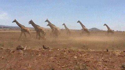 Enlace a Un grupo de jirafas corriendo de forma sincronizada
