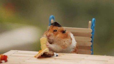 Enlace a Nada más adorable que un hámster comiendo maiz