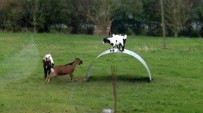 Bienvenidos a las Olimpiadas para cabras
