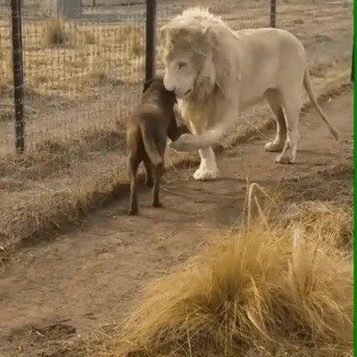 Enlace a El león más caballeroso que has visto nunca