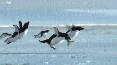 Enlace a Pingüinos intentando volar. Simplemente alucinante