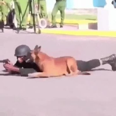 Enlace a Un perro que ha recibido formación militar