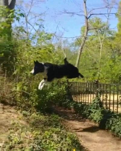 Enlace a Este perro no puede parar de dar saltos increibles