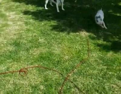 Enlace a Este cerdito es tan rápido que ni el perro le puede seguir el ritmo