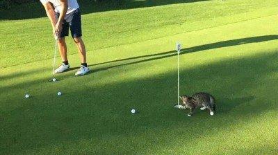 Con esta gato no hay manera de jugar a golf
