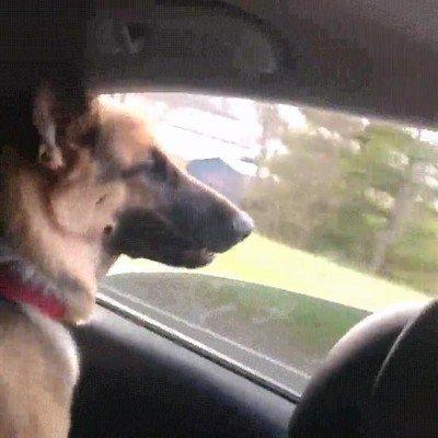 Enlace a Un perro que intenta morder a todos los coches con los que se cruza