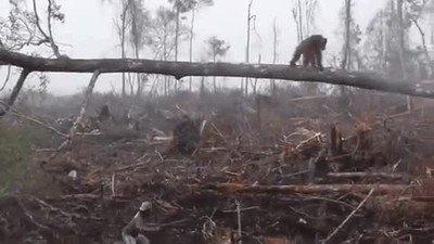 Un orangután intentando evitar que talen más árboles