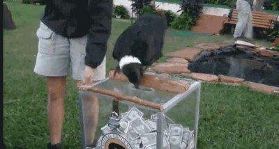 Cuervos que ayudan en una colecta de dinero