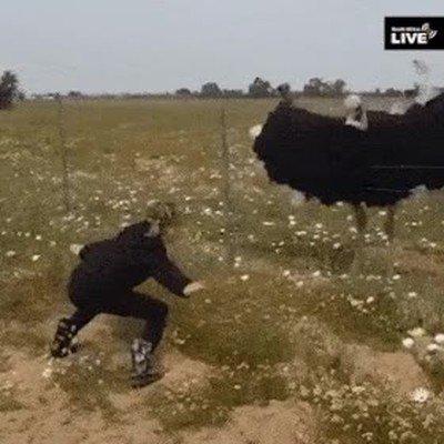 Enlace a Este avestruz sabe seguir una coreografía