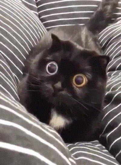 Enlace a Gato con heterocromía no puede ser más adorable