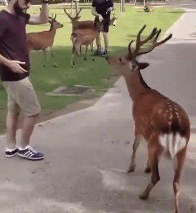 Los ciervos de Japón tienen una educación fuera de lo normal
