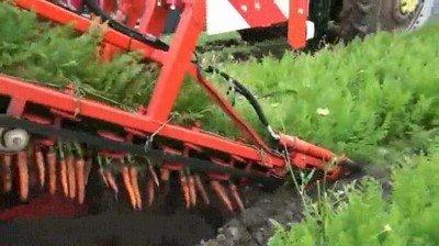 Me flipa ver cómo se recogen las zanahorias con una máquina