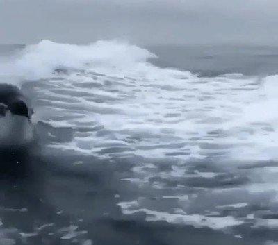 Enlace a ¿Alguna vez habías visto una orca surfeando?