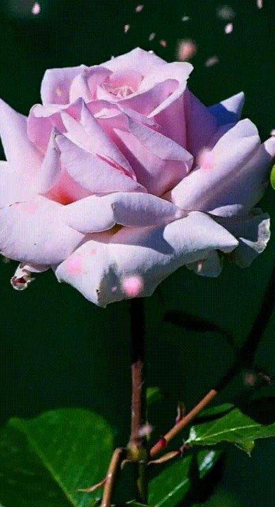 Enlace a Por alguna razón me relaja ver caer pétalos de rosa a cámara lenta